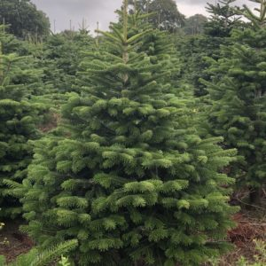 A picture of a Nordmann Fir Christmas Tree