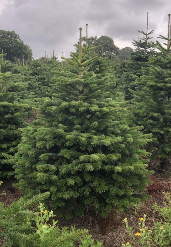 A picture of a Nordmann Fir Christmas Tree